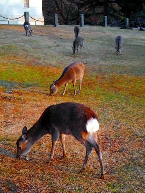 Hand Feeding Deer in Nara Park