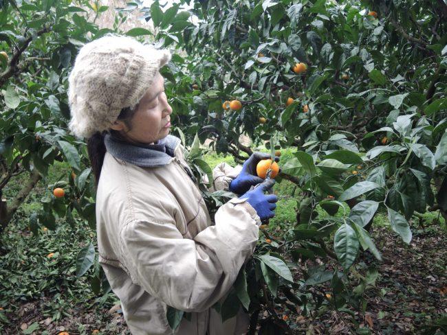 Mikan picking - Saikai Genkimura eco-village, Saikai The Real Japan Rob Dyer