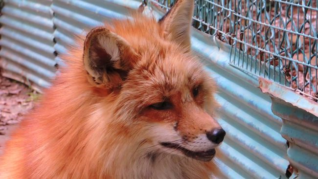 Zao Fox Village The Real Japan Rob Dyer