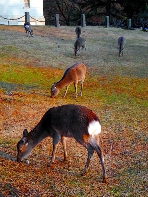 Sika Deer Nara Park The Real Japan Rob Dyer
