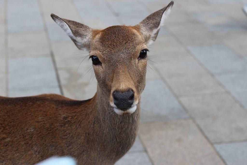 Nara small deer The Real Japan